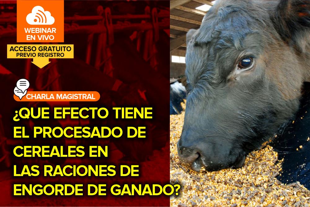 ¿Qué efecto tiene el procesado de cereales en las raciones de engorde de ganado?